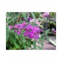 Buddleja 'Free Petite Dark Pink'® - Arbuste aux papillons