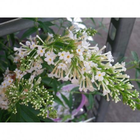 buddleja snow white 39 arbuste aux papillons. Black Bedroom Furniture Sets. Home Design Ideas