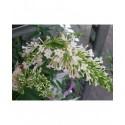 Buddleja 'Free Petite Snow white'®'- arbuste aux papillons