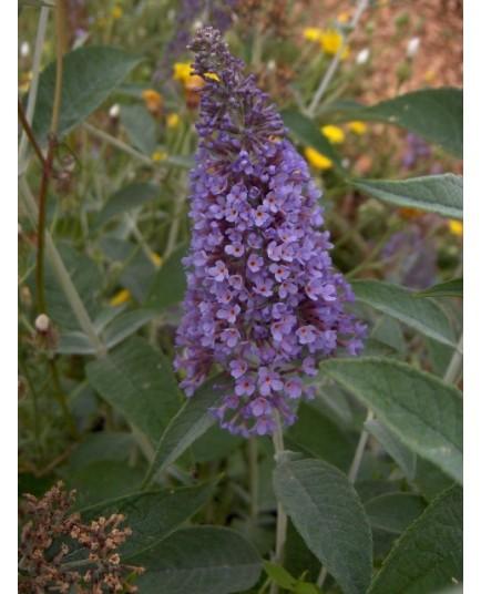 Buddleja 'Lochinch' -Arbre aux Papillons