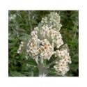 Buddleja 'Morning Mist'® - Buddleja 'Silver Anniversary', arbres aux papillons,