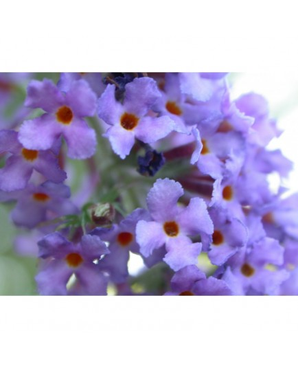 Buddleja 'Southcombe Blue'- arbuste aux papillons