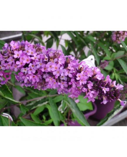 Buddleja 'Tutti Frutti'® - arbuste aux papillons