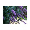 Buddleja 'West Hill' - arbre à papillons
