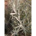 Buddleja alternifolia 'Argentea' - Buddleia à feuilles alternes argentées