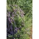 Buddleja alternifolia -buddleia à feuilles alternes, arbres aux papillons,