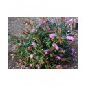 Buddleja davidii 'Buzz lavender'® - arbuste aux papillons