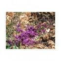 Buddleja davidii 'Camberwell Beauty' - arbuste aux papillons