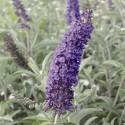 Buddleja davidii 'Empire Blue' - Arbre aux Papillons