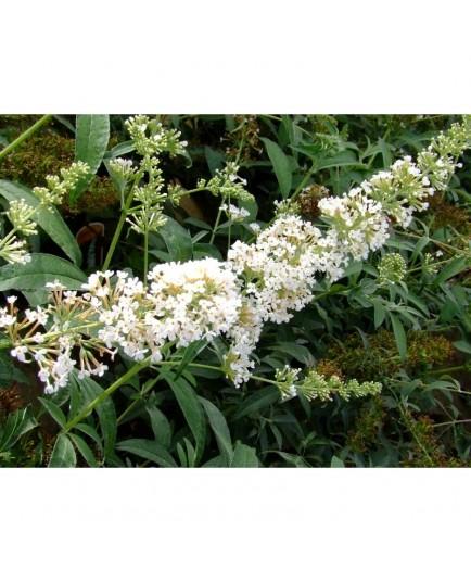Buddleja davidii 'Marbled White'® - arbre à papillons