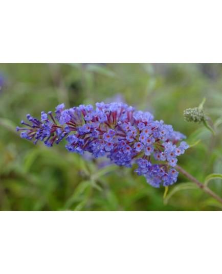 Buddleja davidii 'Nanho Blue' - arbres aux papillons, buddleia de David