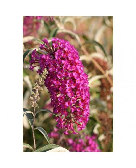 Buddleja davidii 'Nanho Purple' - Arbre aux Papillons