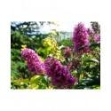 Buddleja davidii  'Peacock'® - Arbuste aux papillons