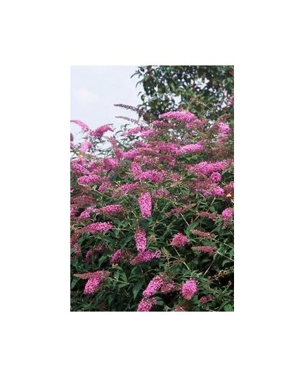 Buddleja davidii 'Pink Delight' - arbres aux papillons, buddleia de David,
