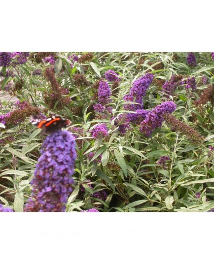 Buddleja davidii 'Purple Emperor'® - Buddlejaceae - arbuste aux papillons