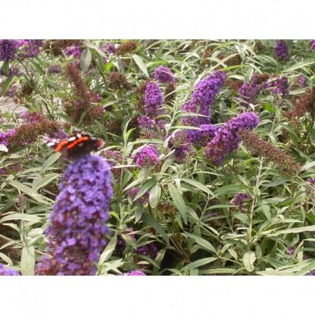 buddleja davidii purple emperor arbuste aux papillons. Black Bedroom Furniture Sets. Home Design Ideas