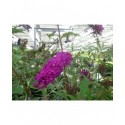 Buddleja davidii 'Royal Red' - Arbre aux papillons