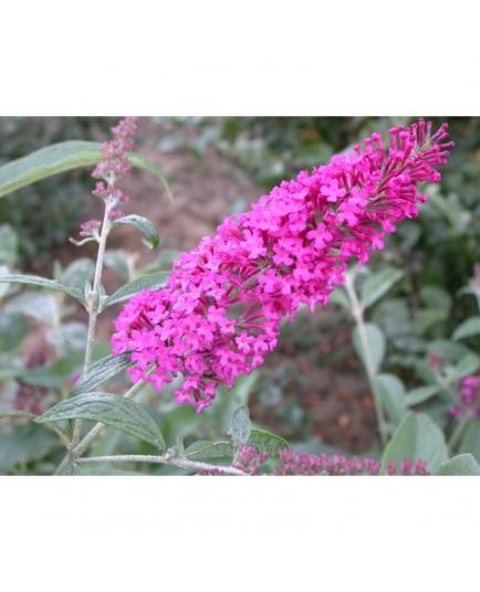 Buddleja davidii 'Summer Beauty' - arbres aux papillons, buddleia de David,