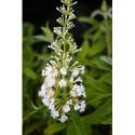 Buddleja davidii 'White Bouquet' - arbuste aux papillons