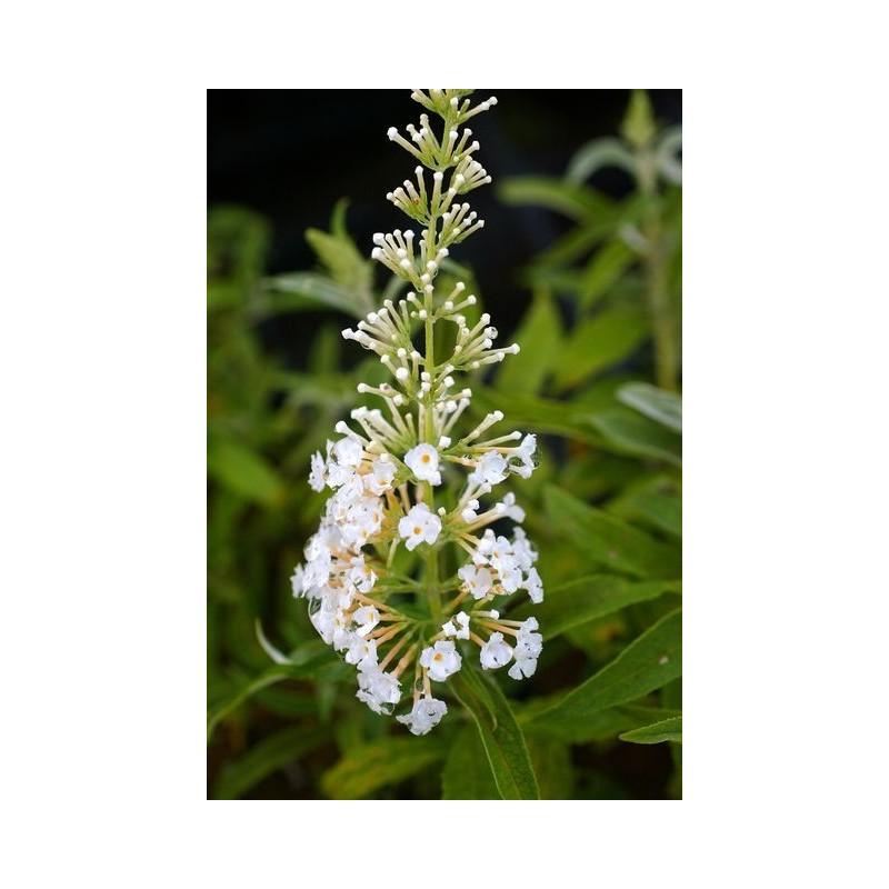 buddleja davidii white bouquet arbuste aux papillons. Black Bedroom Furniture Sets. Home Design Ideas