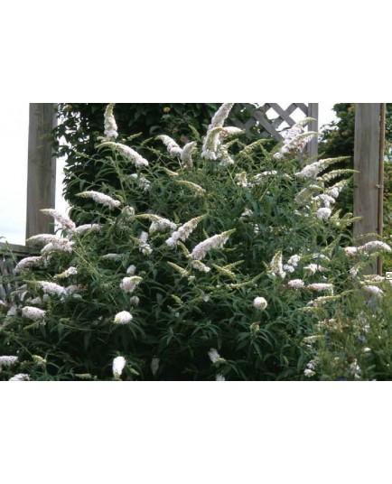 Buddleja davidii 'White Profusion'- Arbre aux Papillons