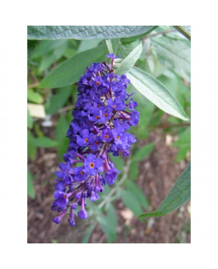 Buddleja davidii 'Adonis Blue'® - arbre aux papillons