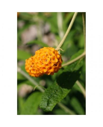 Buddleja globosa - Buddléia globuleux, Orange Ball Tree