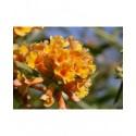 Buddleja weyeriana x 'Sungold' - Arbres aux Papillons, Buddleia de Weyer