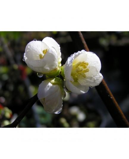 Chaenomeles speciosa 'Nivalis' - Cognassier du japon