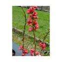 Chaenomeles speciosa 'Rubra Grandiflora' - Cognassier du japon