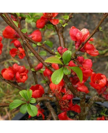 Chaenomeles superba x 'Crimson And Gold' - cognassiers du japon, cognassiers à fleurs,