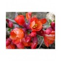 Chaenomeles superba x 'Fire dance'