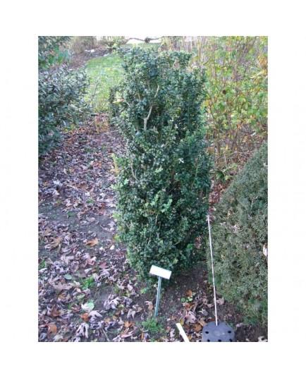 Buxus sempervirens 'Handsworthii' - buis fastigié