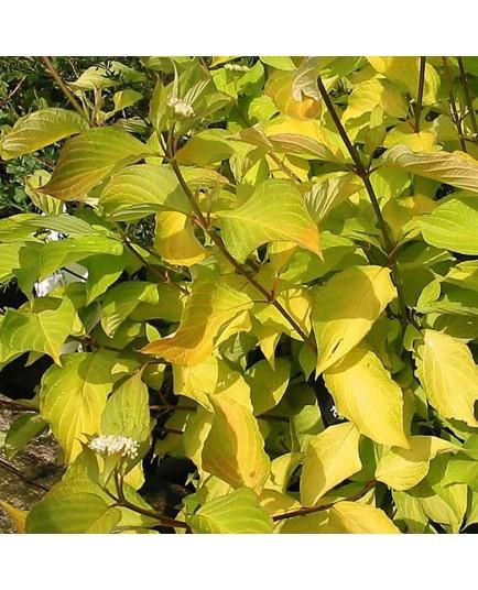 Cornus alba 'Aurea' - cornouillers blancs,