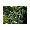 Cornus alba 'Elegantissima' - cornouiller panaché