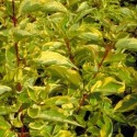 Cornus alba 'Gouchaultii'- Cornouiller