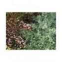 Cornus alba 'Ivory Halo'® - cornouiller