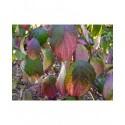 Cornus alba 'Siberian Pearls' - cornouiller