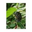 Cornus alba 'Sibirica Variegata' - cornouiller de Sibérie, Cornouiller panaché
