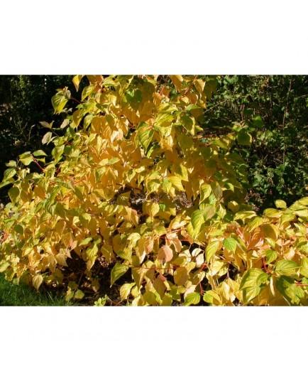 Cornus sanguinea 'Winter Beauty' - Cornouiller