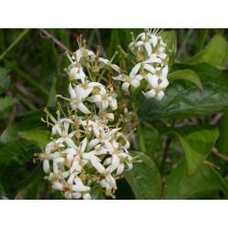 Cornus sanguinea- Cornouiller sanguin