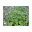 Cornus stolonifera 'Buds Yellow'