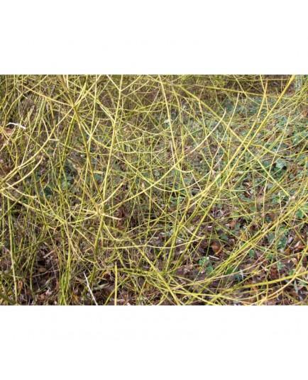 Cornus stolonifera 'Flaviramea' - cornouillers à bois jaune, cornouillers stolonifères,