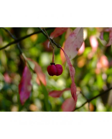Euonymus europaeus 'Red Cascade'- Fusain