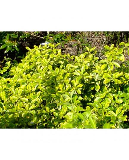 Euonymus fortunei 'Canadale Gold' - Fusain nain doré