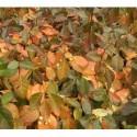 Euonymus fortunei 'Coloratus' - Fusain rampant, fusain de Chine