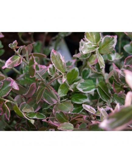 Euonymus fortunei 'Emerald Gaiety' - fusains, fusains nains argentés,