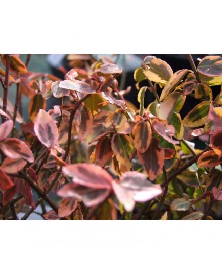 Euonymus fortunei 'Emerald'n Gold' - fusains, fusains nains dorés,