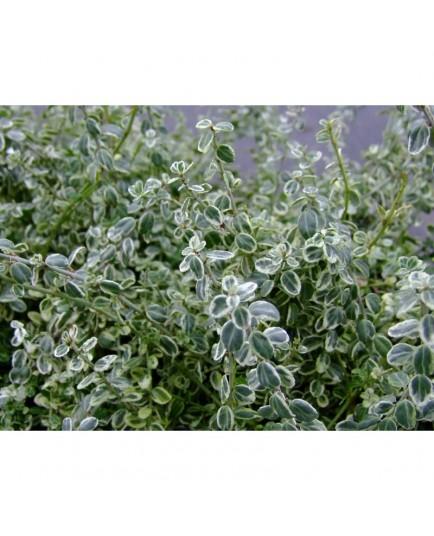 Euonymus fortunei 'Silver Carpet'® - Fusain