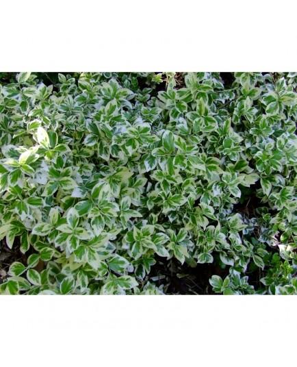 Euonymus fortunei 'Silver Gem' - Fusain